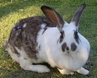 hybrid rabbit
