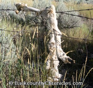 Mule deer trapped in fence