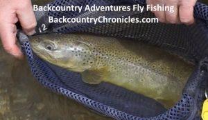 24 inch utah brown trout