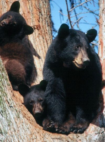 Louisiana black bear with cubs