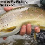 20 inch provo river brown trout