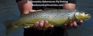 jessies' big utah brown trout