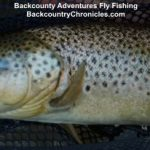 big utah brown trout in net