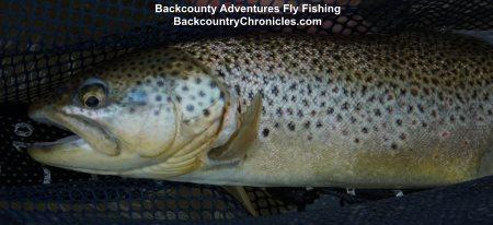 big utah brown trout in net