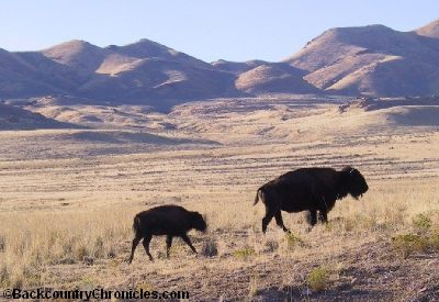 Cow bison with calf