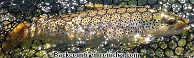 brown trout in net
