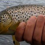December brown trout provo river utah