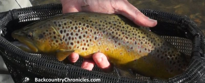 brown trout provo river utah thanksgiving 2017