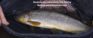 brown trout provo river utah
