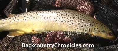 brown trout in rubber net