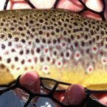 brown trout in rubber net