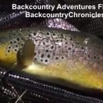 big utah brown trout on dry fliesi