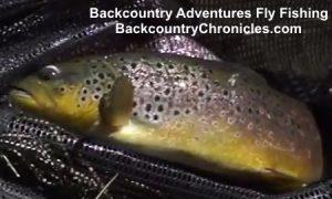 big utah brown trout on dry fliesi