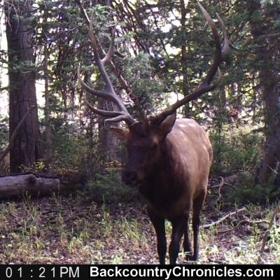 bull elk game camera photo