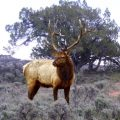bull elk in sage and pj habitat