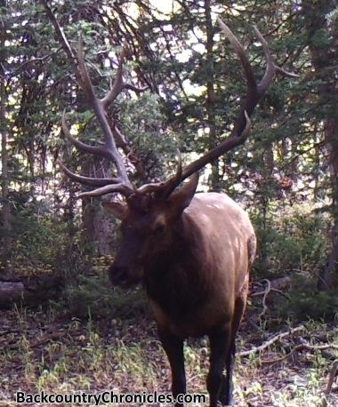 bull elk aspen conifer habitat