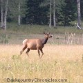 cow elk on public land