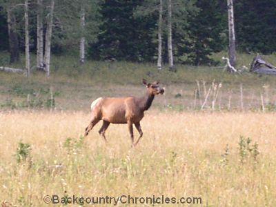 cow elk on public land
