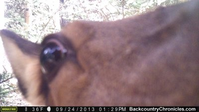 cow elk smells camera