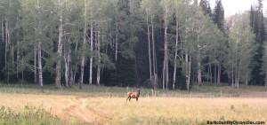 cow elk in mixed aspen and conifer