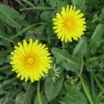 eat greens from dandelion plant
