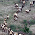 elk herd climbing hillside