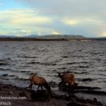 elk drinking in yellowstone lake