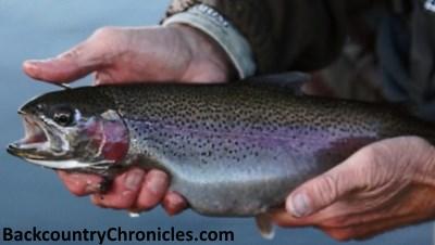 fat 20 inch rainbow trout