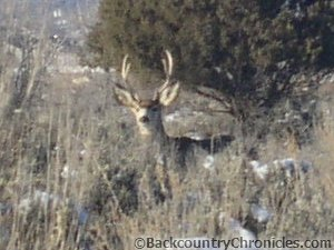young mule deer buck in winter habitat