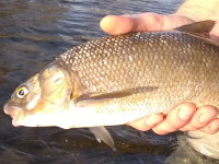 mountain whitefish provo river
