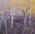 mule deer buck in aspen