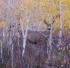 mule deer buck in aspen