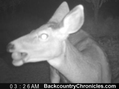 proof mule deer eat green tomatos