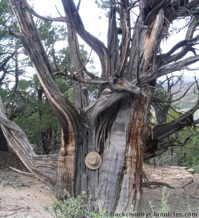 old juniper tree