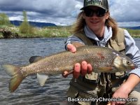 provo river mountain whitefish