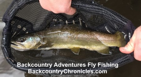 near spottless provo river brown trout