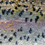 rainbow trout skin pattern