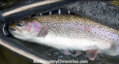 19 inch rainbow trout