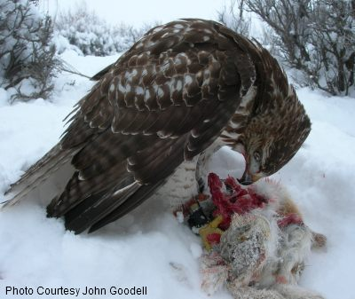 red tailed hawk with rabbit