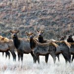 How to use Harvest Data to Choose an Elk Unit for a DIY Public Land Hunt