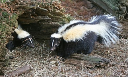 striped skunk problems while camping