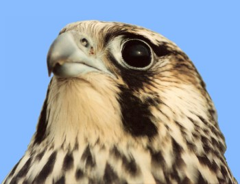head of immature peregrine falcon (tundrius)