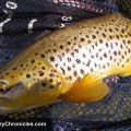 utah brown trout with backcountrychronicles.com fly fishing
