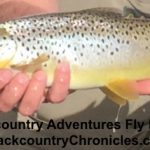 utah brown trout
