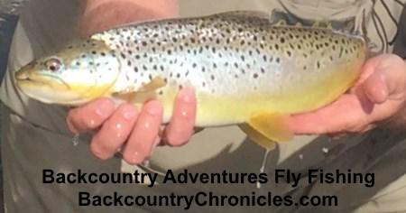 utah brown trout