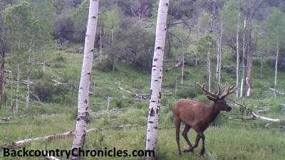 elk in velvet running