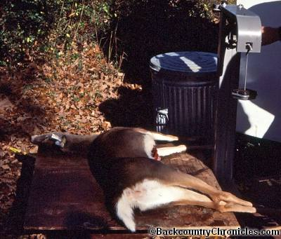 white tailed deer on scale