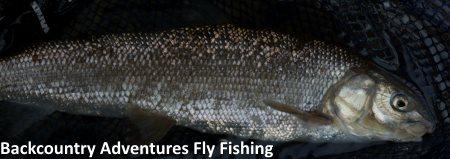 mountain whitefish provo river april 18