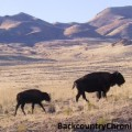 wild bison in utah