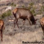 yearling and calf elk